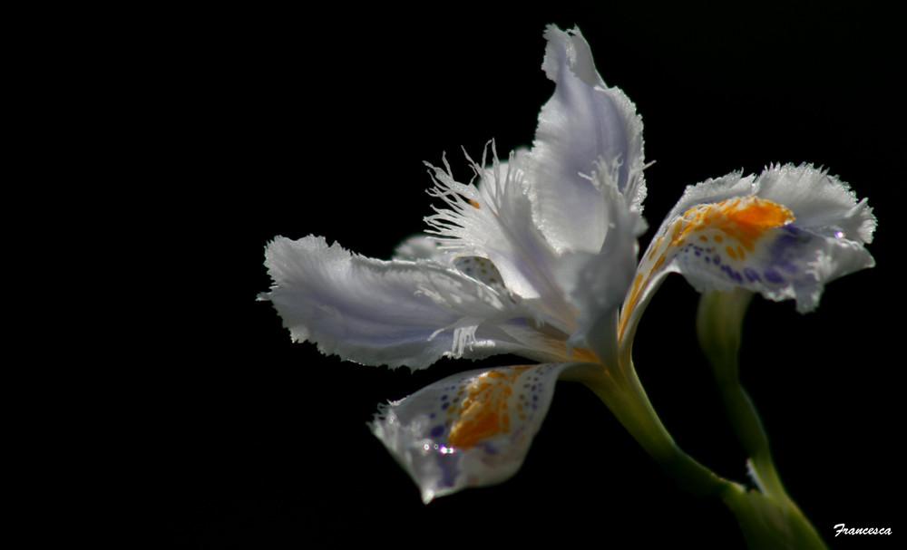 Iris di luce