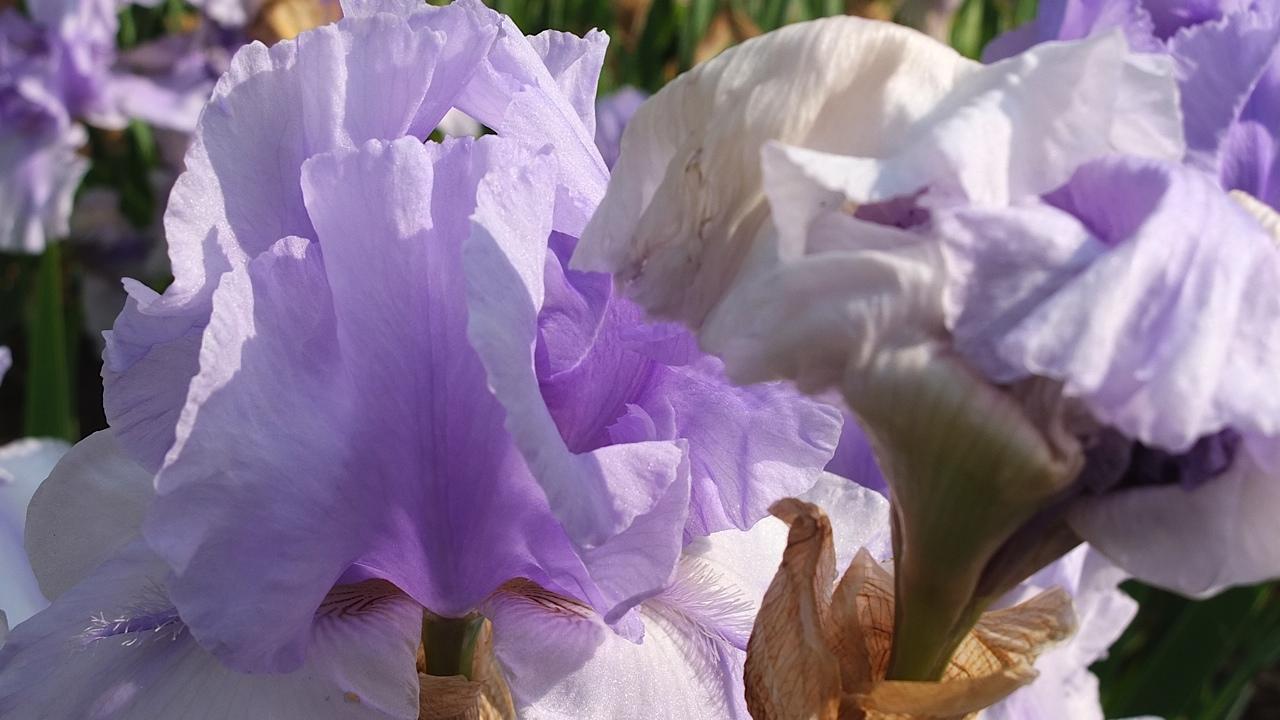 Iris du Parc de Bagatelle 2