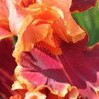 Iris du Parc de Bagatelle