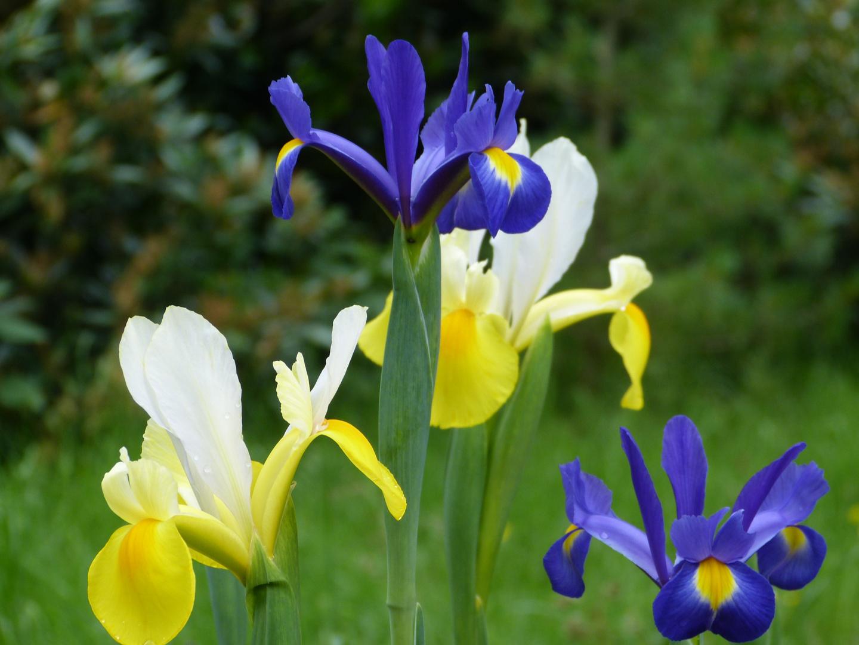 Iris (gelb & blau)