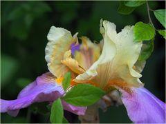 Iris Germanica Millestone