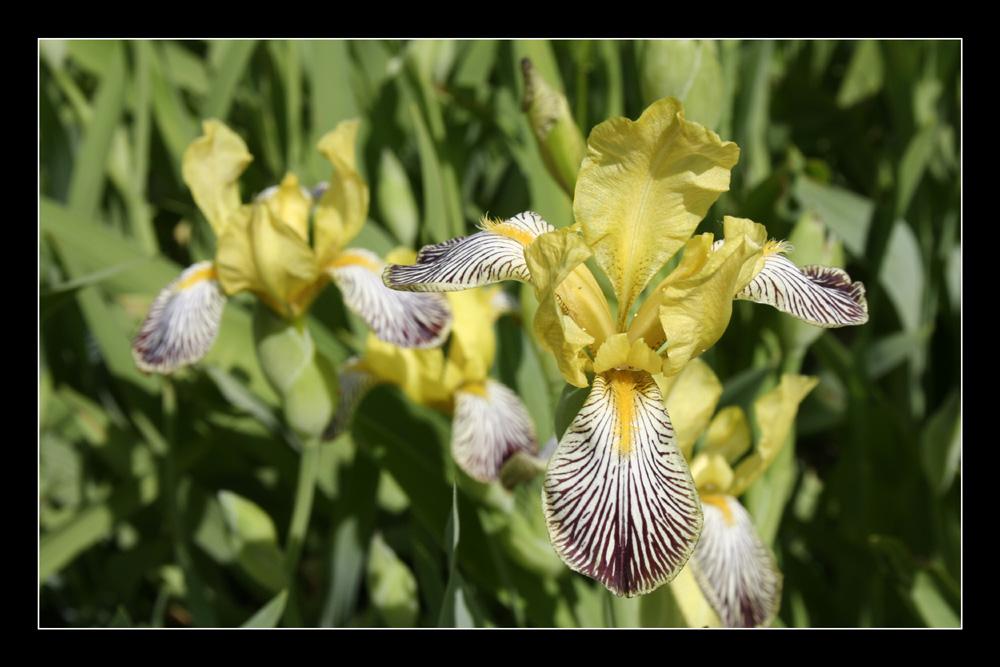Iris im Botanischen Garten Düsseldorf