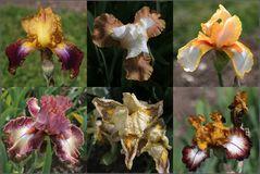 Iris in Variationen (1)