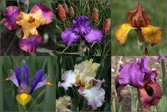 Iris in Variationen (2)