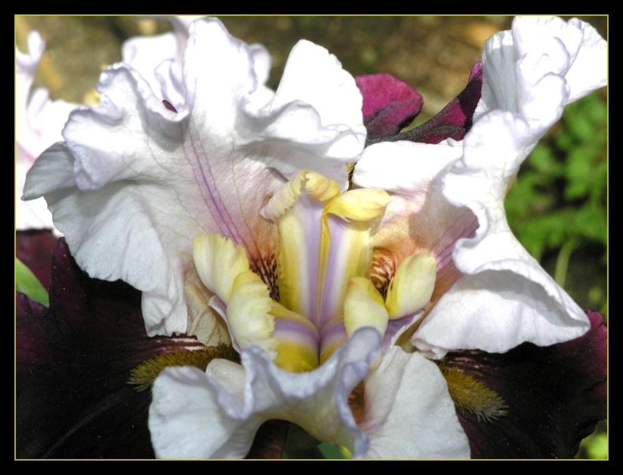Iris - Innenleben