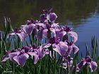 iris japonais au bord de l'eau