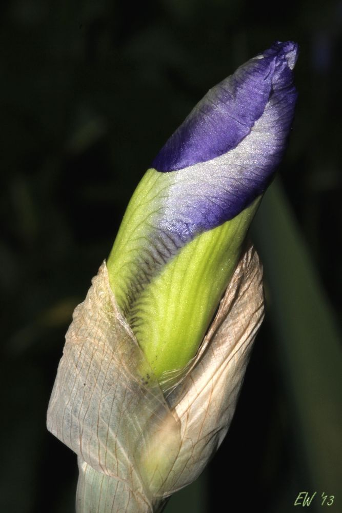 Iris-Knospe