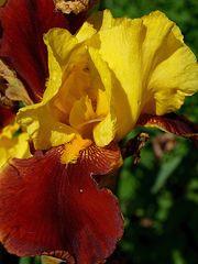 Iris oder auch Schwertlilie