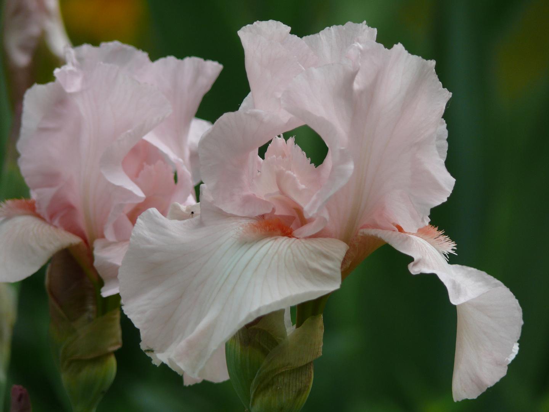 Iris-rosa