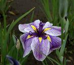 "Iris ""Royal Pageant"""