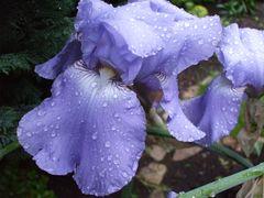 Iris (Schwertlilie)