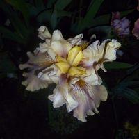 Iris Schwertliliensammlerin