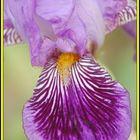 Iris toujours dans le jardin de Mme Mim
