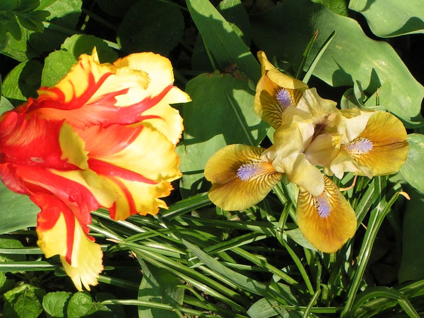 Iris-Tulpe