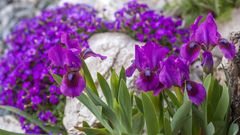 Iris x barbata-nana Magic Doc