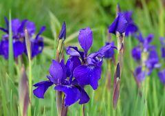 Iris zum Blue Monday