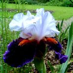 Iris1