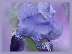Irisblüte ...