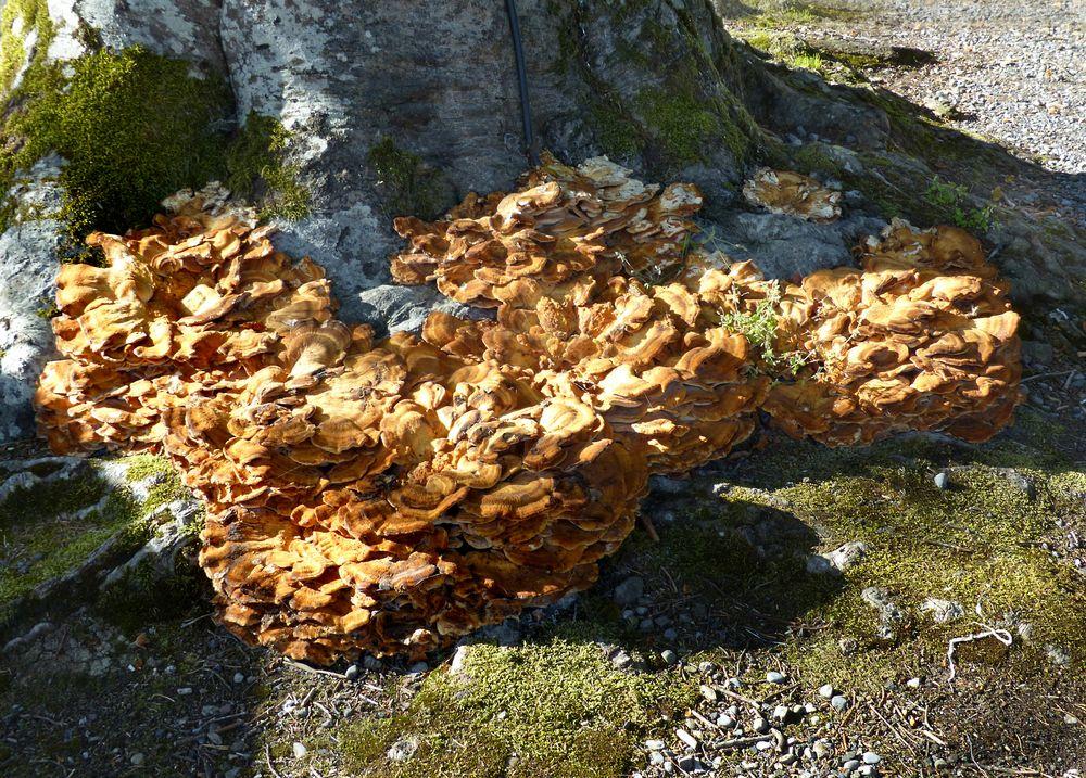 Irischer Riesen-Baumpilz