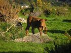Irisches Kälbchen...