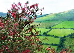 Irisches Mittwochsblümchen