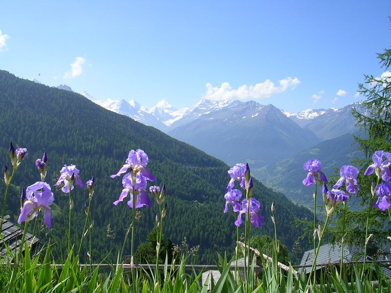 Irises on the Alps. Summer, 2005