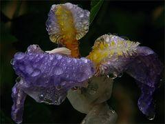 Irisfarben