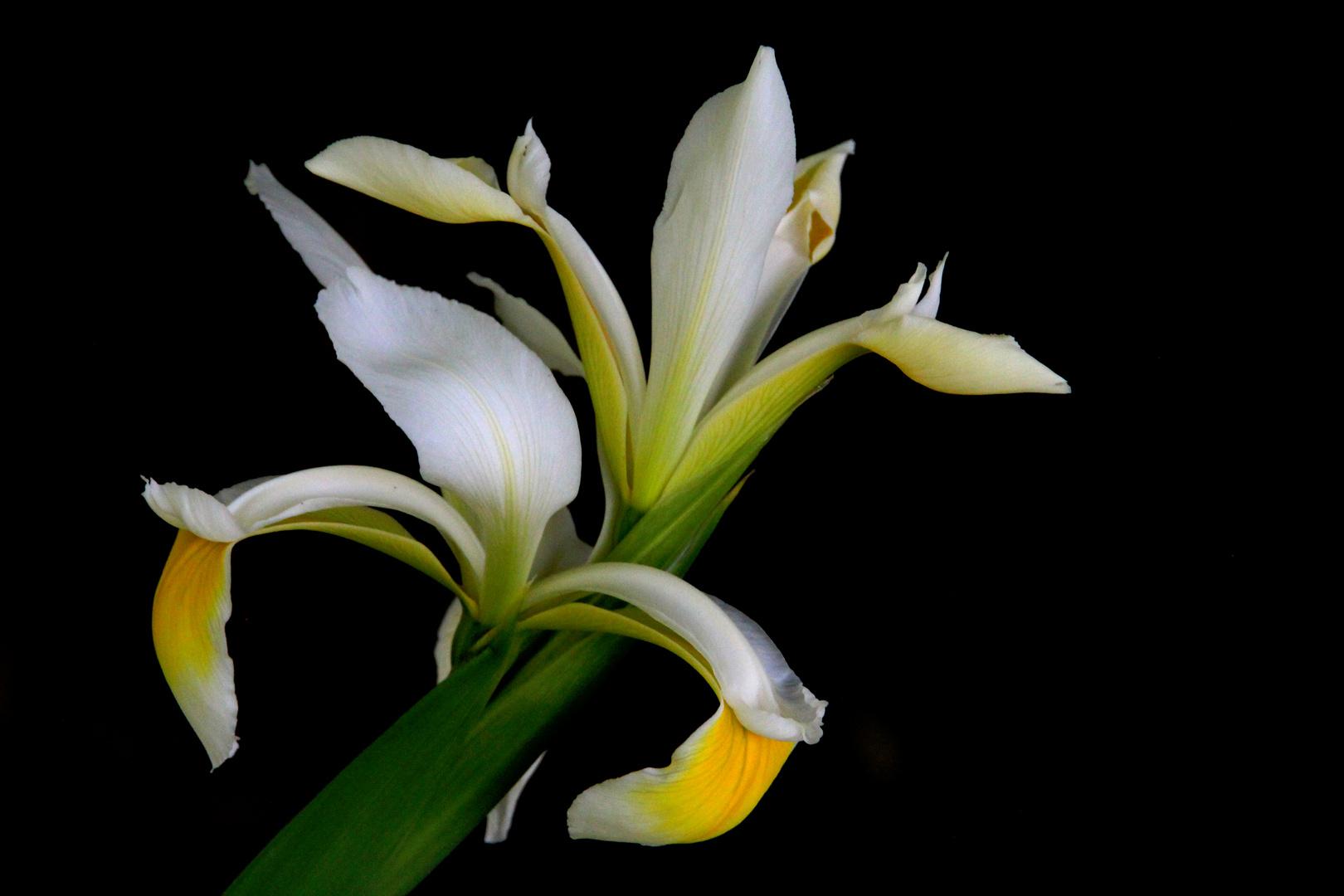 ...iris...fiore di maggio...