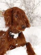 irish Setter Leni im Schnee