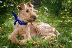 irish terrier 6 monate alt