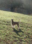 Irish Terrier als Lichtgestalt
