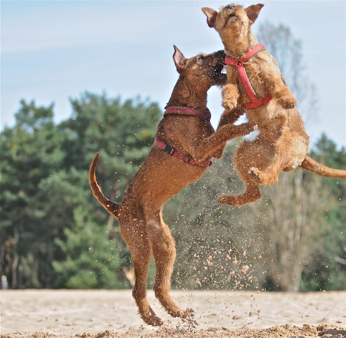 irish terrier dara und edda 1
