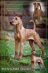 Irish Terrier - meine Süße :)