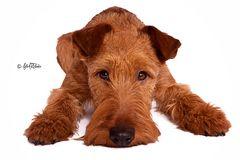 Irish Terrier - Ole der kleine Schnösel :)