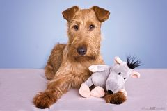 """Irish Terrier - Ole mit  """"geklautem"""" Freund"""