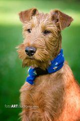 Irish Terrier - Ole von der Grevenburg