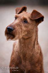 Irish Terrier Portrait
