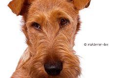 Irish Terrier Welpe - dieser Blick