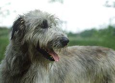 Irish Wolfhound 010