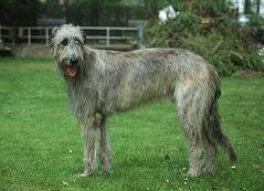 Irish Wolfhound 012