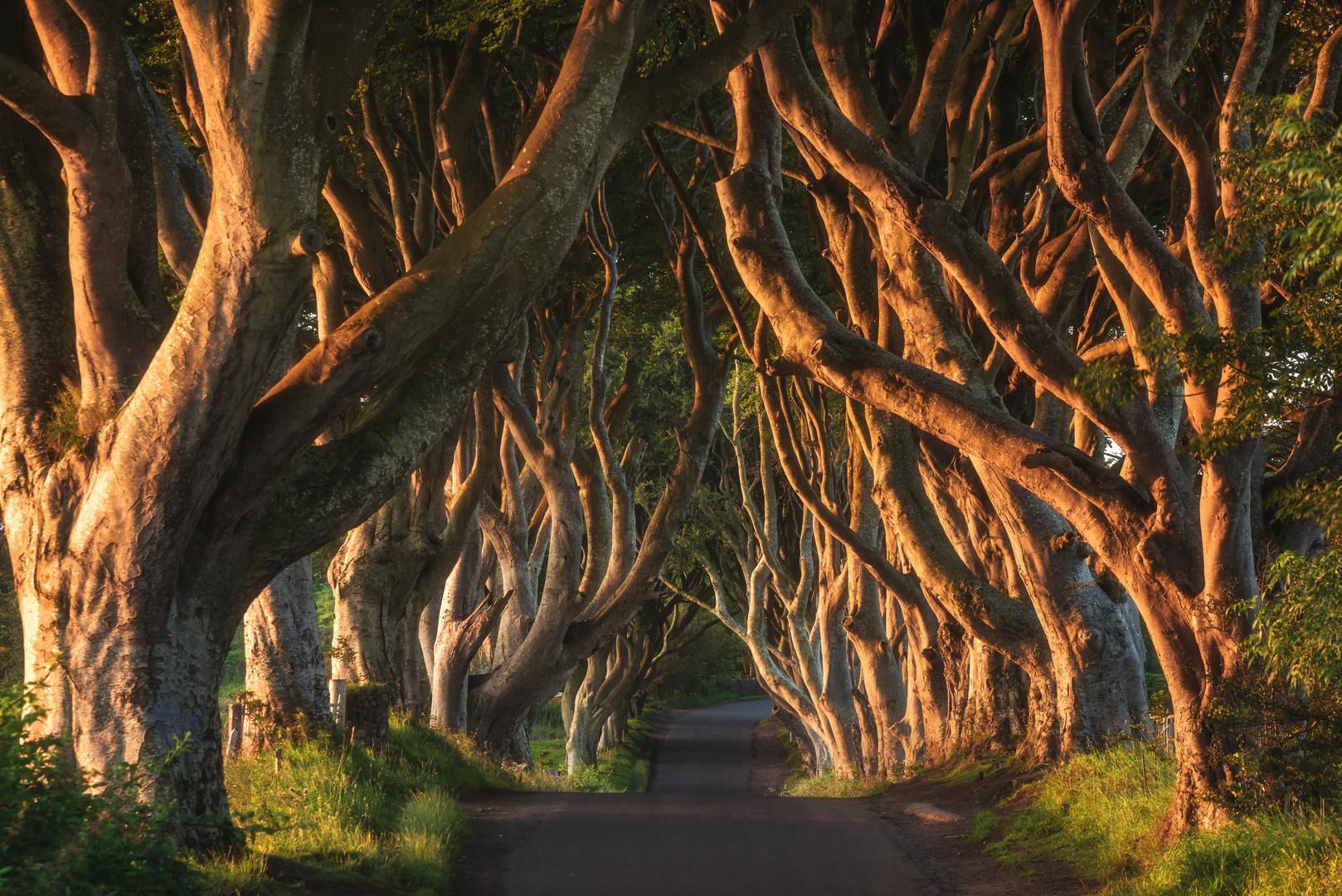 Irland - The Dark Hedges