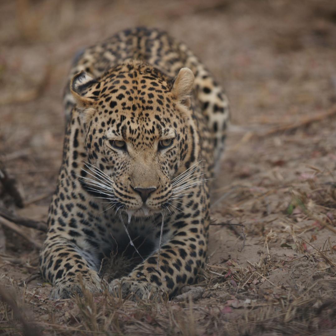 Irritierter Leopard
