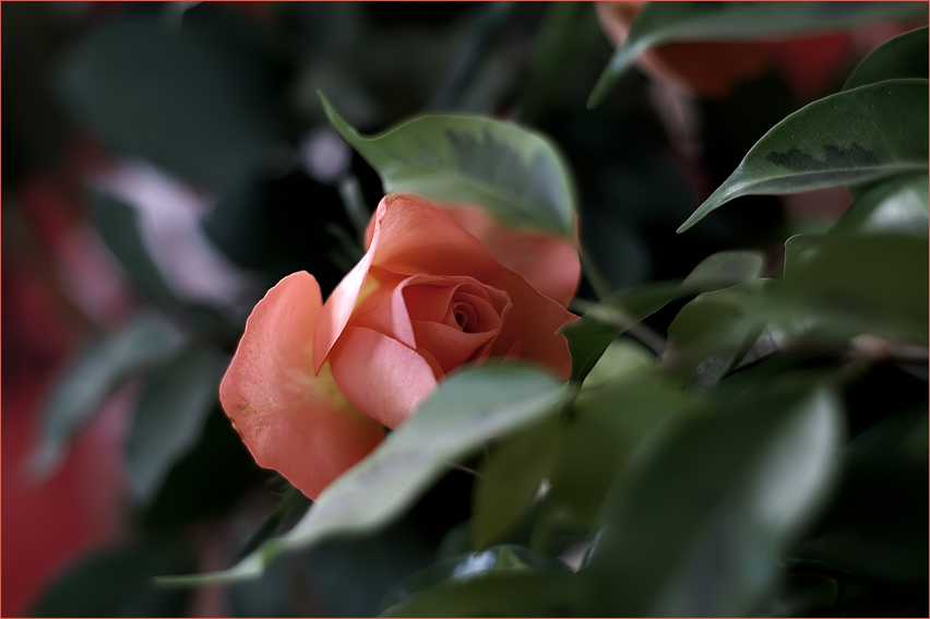 ...is a rose is a rose.