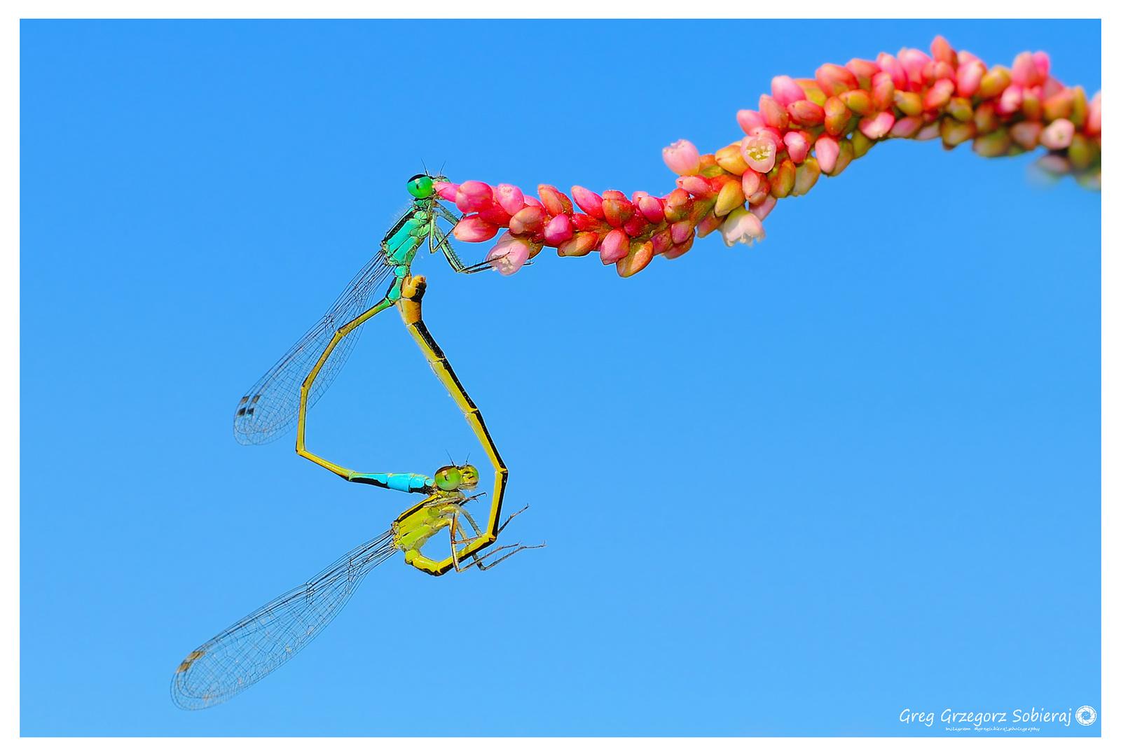 Ischnura elegans.