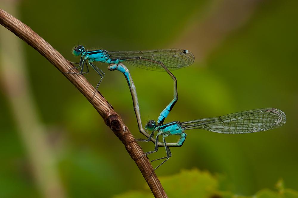Ischnura elegans - ohne Pech