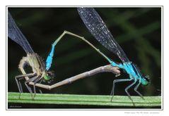 Ischnura elegans Van Der Linden - Il cuore