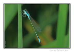 Ischnura elegans Van Der Linden - Maschio
