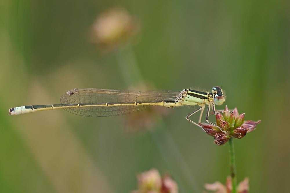 Ischnura pumilio (Männchen)