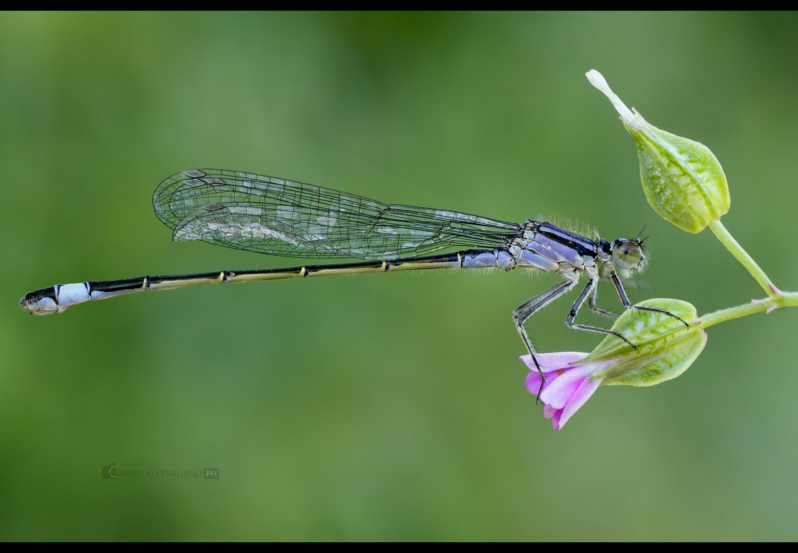 Ishcnura elegans