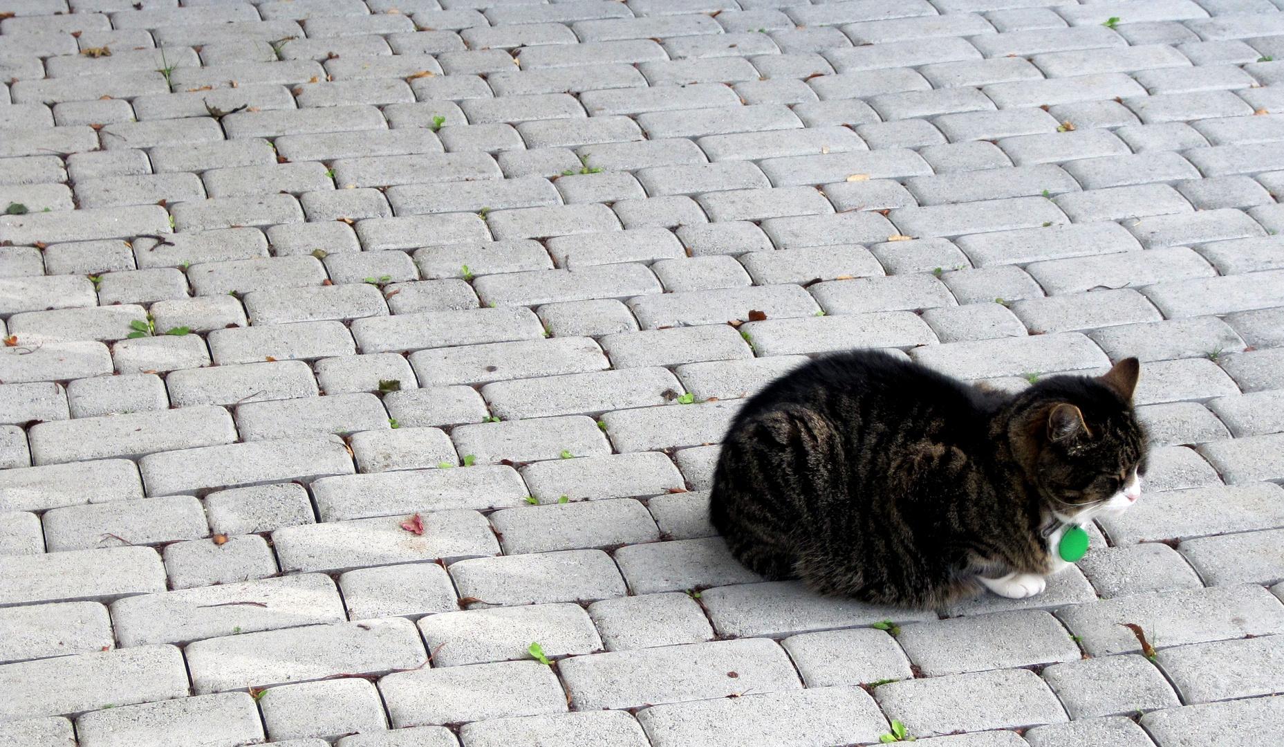 Isländische Katze